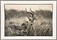 photo of antelopes by peter beard