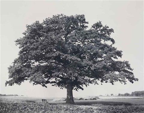 oak kaggevinne from the series flanders trees by rodney graham
