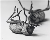 tenebrionidae, asbolus verrucosus, death feigning beetle (2 works) by christopher williams