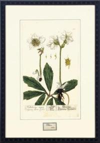 herbarium blackwellianum emendatum et auctum (6 works by nikolaus freidrich eisenberger) by elizabeth blackwell