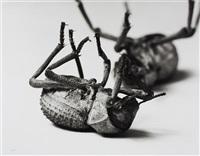 tenebrionidae, asbolus verrucosus death feigning beetle- silverlake, california, october 1, 1996 by christopher williams