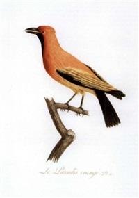 oiseaux dorées ou à reflets métalliques by jean-baptiste audebert
