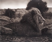 lion on burned ground, serengeti by nick brandt
