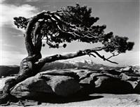 jeffrey pine, sentinel dome, yosemite by ansel adams