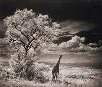 giraffe looking over plains, serengeti by nick brandt