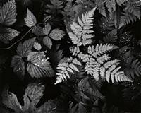 leaves, mt. rainier national park by ansel adams