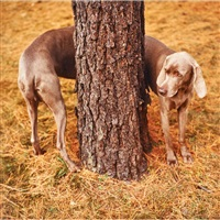 pine bender by william wegman