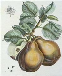 fruit studies (4 works) by henri louis duhamel du monceau