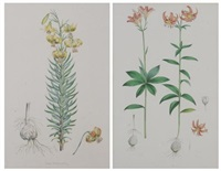 lilium medeoloides (+ lilium pyrenaicum; 2 works from monograph of the genus lilium) by walter hood fitch