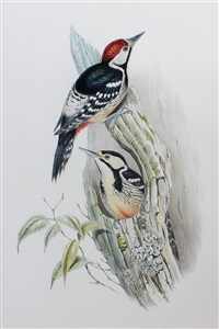 woodpeckers - picus cabanisi and picus insularis (pair) by john gould