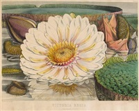 victoria regia or illustration of the royal water-lily (collab. w/william jackson hooker; set of 4, folio) by walter hood fitch
