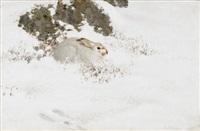 vinterhare by thure wallner