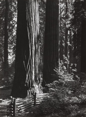 pine forest mist timber cove redwoods richardson grove 2 works by ansel adams