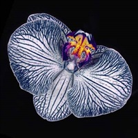 orchid phala 001 by howard schatz