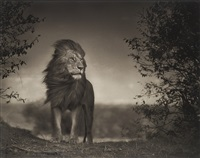 lion before the storm i by nick brandt