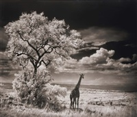 giraffe looking over plains, serengeti by nick brandt