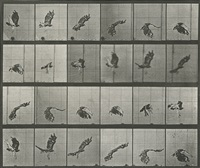 animal locomotion plate 763: red-tailed hawk flying by eadweard muybridge