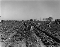 lettuce cutting, imperial, valley, ca by dorothea lange
