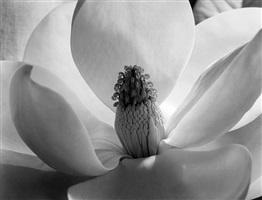 magnolia blossom by imogen cunningham