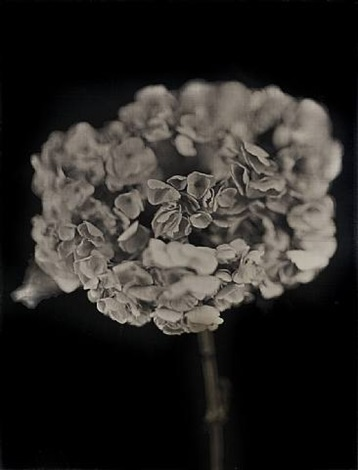 geranium by chuck close