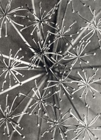 laserpitium siler, (laserwort, part of a fruit umbel) by karl blossfeldt