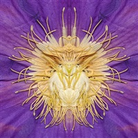clematis by e.v. day