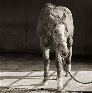 handsome one, thoroughbred horse, age 33 by isa leshko