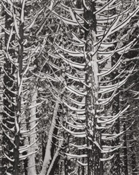 winter forest detail, yosemite valley, by ansel adams