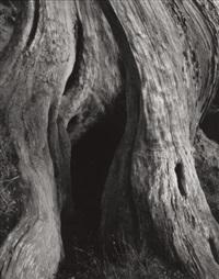 cypress, point lobos by edward weston