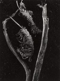 fern by brett weston