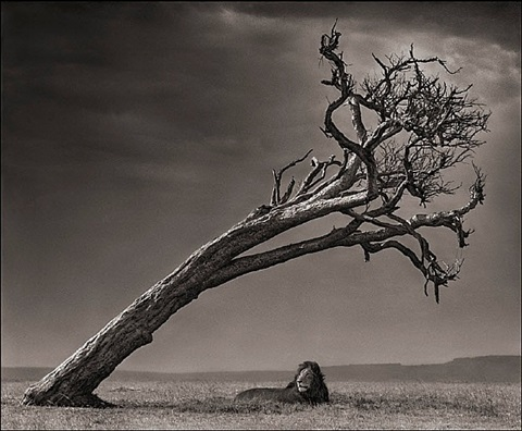 lion under leaning tree, massai mara by nick brandt