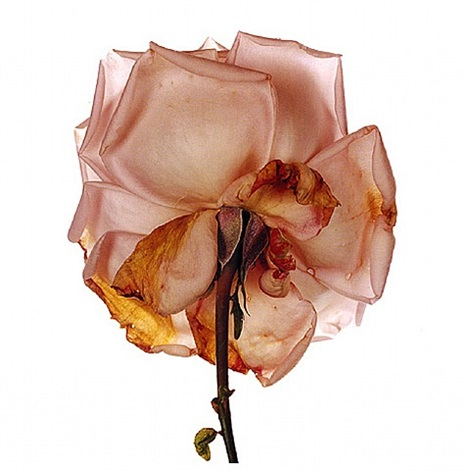flower by irving penn