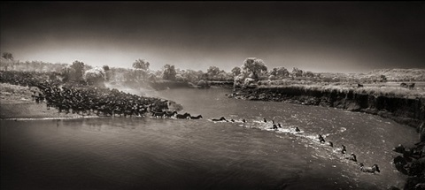 zebra river crossing, masai mara, 2006 by nick brandt