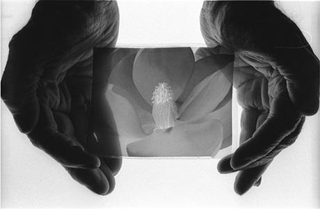 imogen cunningham, magnolia blossom, 1925 by john loengard