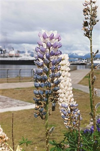 ushuaia lupine by wolfgang tillmans