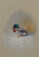 study of a mallard by archibald thorburn