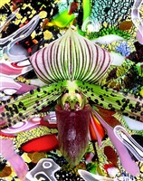 paphiopedilum spots and gloss galore by christopher beane
