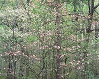 gentle dogwoods, kentucky by christopher burkett