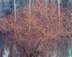 byzantine willow, oregon by christopher burkett