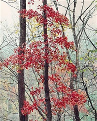 susquehanna maple pennyslvania by christopher burkett