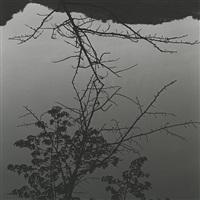 sakura (cherry trees), #024 by dai nakamura