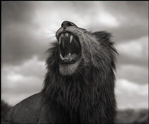lion roar, maasai mara by nick brandt