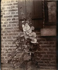 rose trémiere (hollyhock) by eugène atget