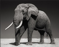 elephant with half ear, amboseli by nick brandt