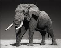 elephant with half ear, amboseli by nick brandt