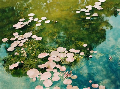 vietnamese water lillies by philipp keel