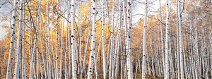 golden aspen glade, colorado by christopher burkett