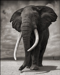 portrait of elephant on bare earth, amboseli by nick brandt