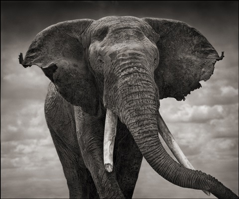 elephant with tattered ears, amboseli by nick brandt