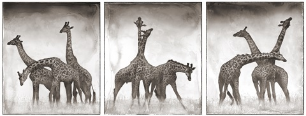 giraffes triptych, maasai mara by nick brandt